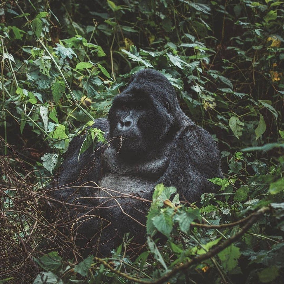 Looking for interesting trips in Rwanda? Here are affordable safaris in Rwanda for you to enjoy and to start with; Rwanda gorilla safaris/Gorilla Trekking Rwanda safaris  https://t.co/q7W5hfL5Nh #Rwandagorillasafari #GorillasafariRwanda #Rwandagorillatour #GorillatourRwanda https://t.co/hs266blpZt