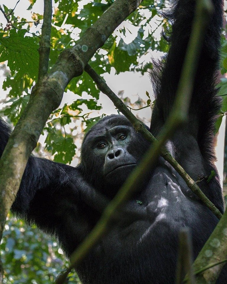 Looking for an exciting trip in Africa? Book a gorilla trekking safari tour in Uganda Rwanda or Congo  https://t.co/nrEbGziutd #Rwandagorillasafari #GorillasafariRwanda #Rwandagorillatour #GorillatourRwanda #Rwandagorillatrekkingsafari #GorillasafariinRwanda #safariRwanda https://t.co/jyb4v3OZZu