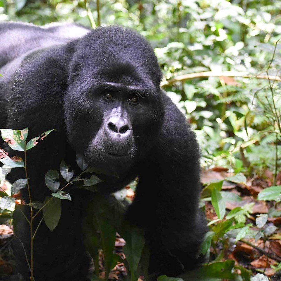 Rwanda offers its best gorilla trekking safaris in Africa. Wouldn't you want to safari to the best gorilla trekking safari there?  https://t.co/QpnYIEKB4k #Rwandagorillasafari #GorillasafariRwanda #Rwandagorillatour #GorillatourRwanda #Rwandagorillatrekkingsafari #safariinRwanda https://t.co/sRYLvlNSNM