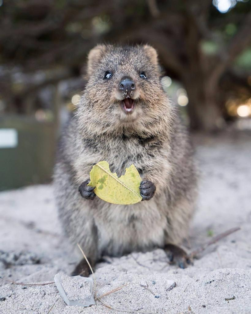"Daxon the Quokka on Twitter: ""Happy Quokka Monday!!! What a tıme to  smile🐻😘😍 Photo by @eatsnorexplore - tag #quokkahub for features #quokka  #HappyQuokkaMonday #australia #quokkas #rottnestisland #rottnest #perth  #wildlife #animals… https://t.co ..."