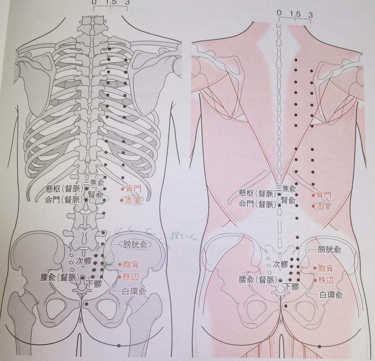 🔸志室:膀胱経  ・腰部、第2腰椎棘突起下縁と同じ高さ、後正中線の外方3寸  ※第12肋骨端下縁の内方  ・広背筋>胸背神経  ・脊柱起立筋>脊髄神経後枝  ・感覚神経>腰神経後枝  ・血管>腰動脈背枝  ・主治>消化不良、腹脹、嘔吐、遺精、陽萎、陰部の腫れ/痛み小便淋瀝、浮腫、不眠、健忘、多夢、↓