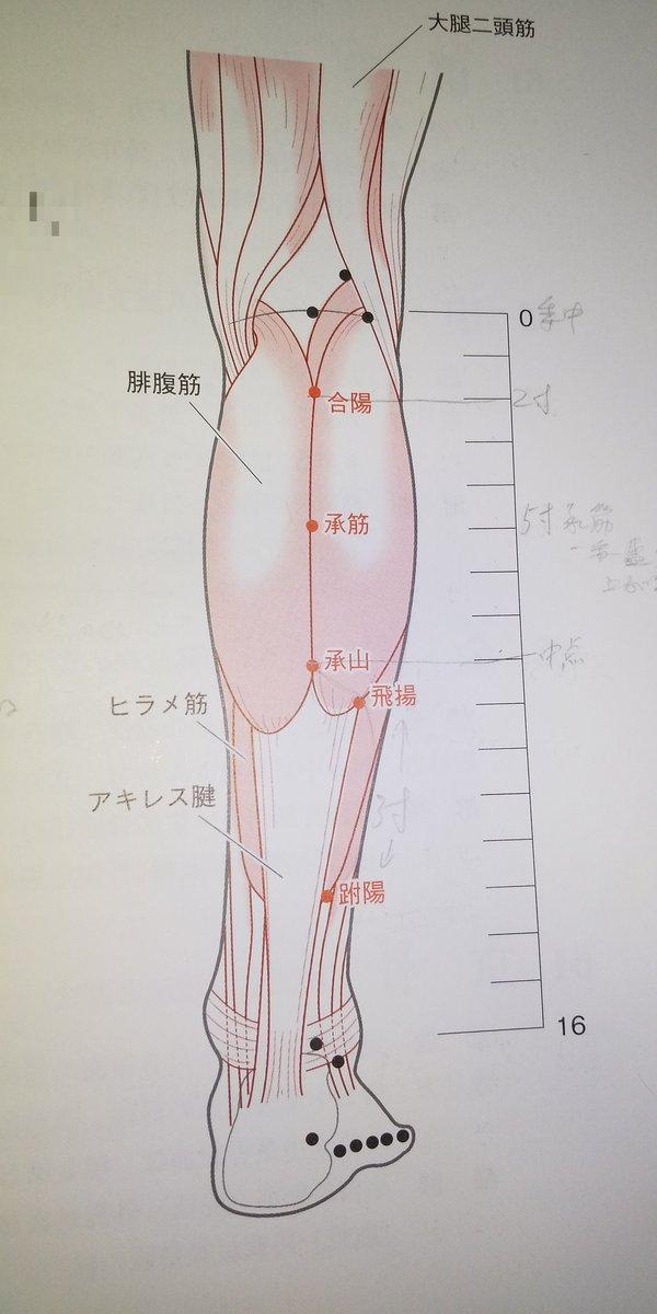 🔸合陽:膀胱経  ・下腿後面、腓腹筋外側頭と内側頭の間、膝窩横紋の下方2寸  ・腓腹筋>脛骨神経  ・感覚神経>内側腓腹皮神経  ・血管>後脛骨動脈  ・主治>腰脊部の痛みが小腹まで達するもの、下肢の酸痛/麻木(しびれ)、膝脛部のだるさ/腫れ/痛み、膝窩の拘急、陰部の痛み、睾丸炎、陽萎、崩漏、帯下↓
