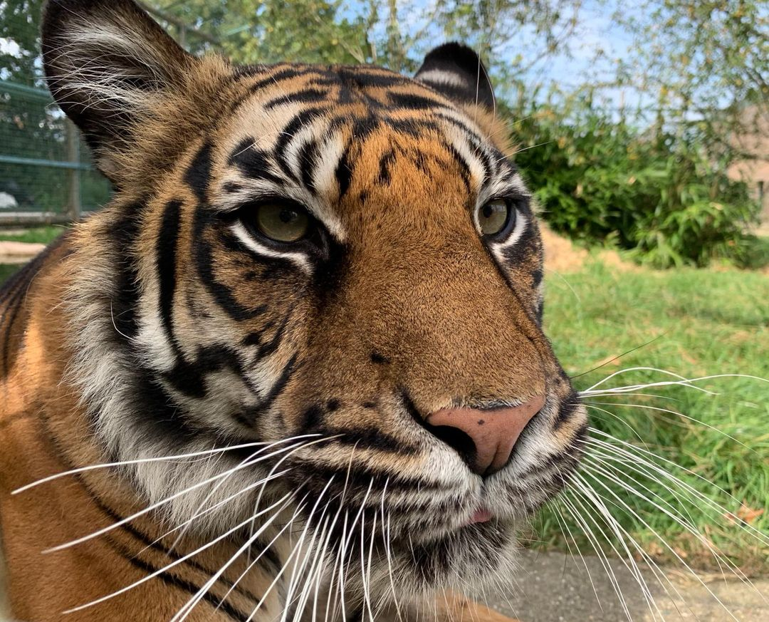 Our Queen of #TongueOutTuesday is back!  Here is the latest instalment from Puna the Sumatran tigress  #tongueout #tot #tigertuesday #sumatrantiger #criticallyendangered #endangeredspecies #iucn<br>http://pic.twitter.com/twXOHTzQ2v