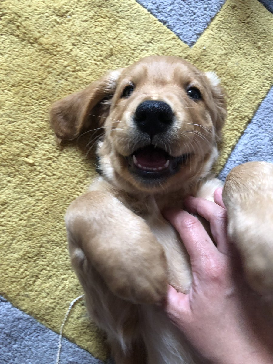 Oh that tickles  #goldenretriever #CuteDogs #puppylove #GRC #TongueOutTuesday <br>http://pic.twitter.com/4thqJd051F