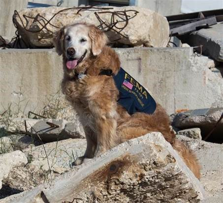 Bretagne, the last surviving 9/11 Ground Zero search dog, who passed in 2016.  The goodest and bravest of girls.