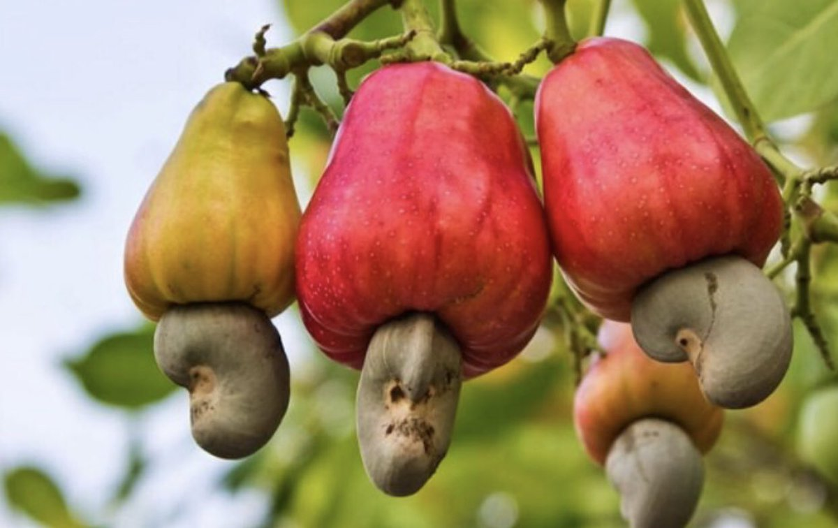 We can't get over how weird cashews look before they're picked