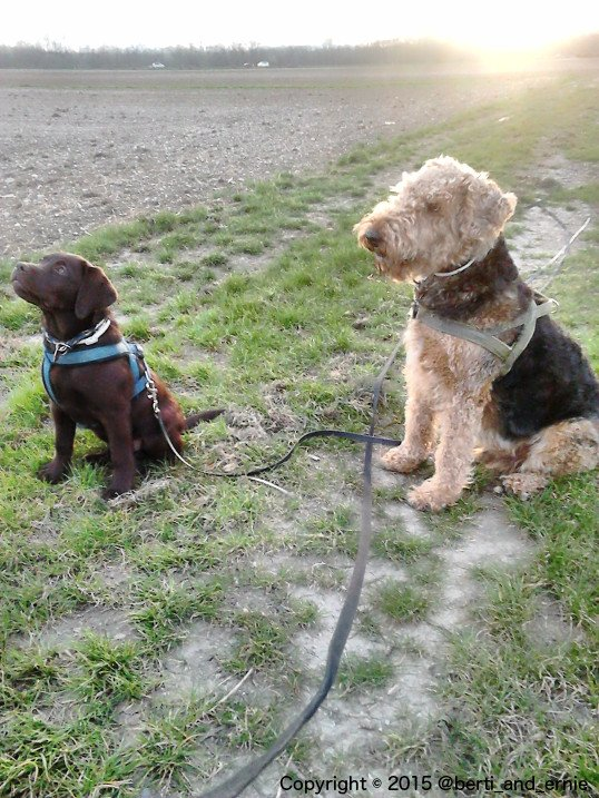 Let me introduce #Labrador Ernie and #Airedale Berti.