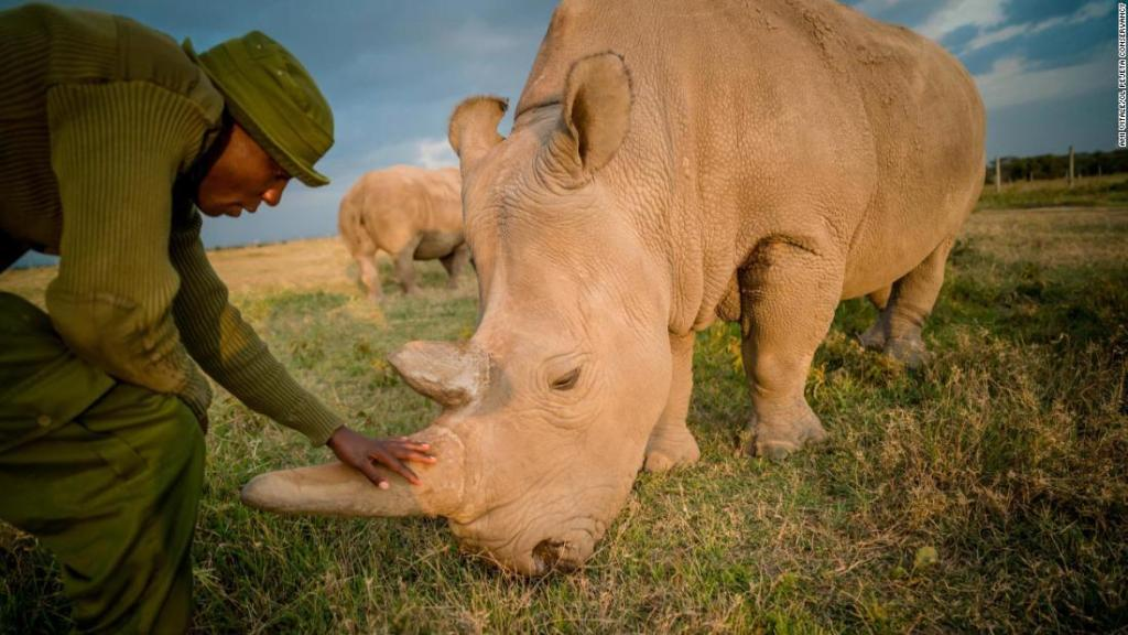 There are 2 northern white rhinos left worldwide Scientists created embryos to save the animal from extinction - Top Tweets Photo