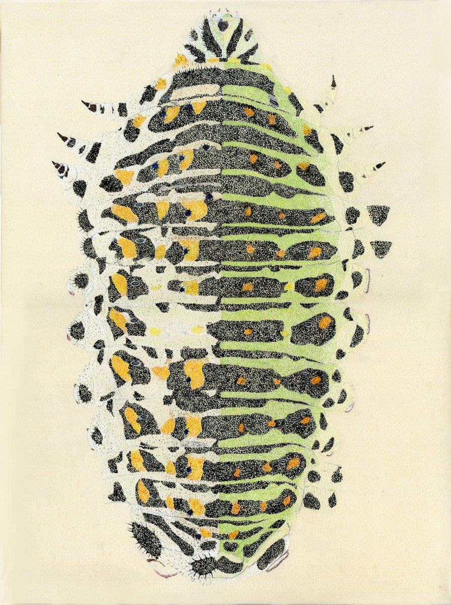 イモムシタイムラプス飼育しながら描いていると、描く速さより先に芋虫が育ってしまうため、わたしの絵の芋虫は、写真の様な同時刻の一個体ではなく、一個体に様々な成長過程が記録されています。今回はそれを極端に描いてみました。キアゲハのハーフ&ハーフ..3齢虫と4齢虫を一個体として(笑)