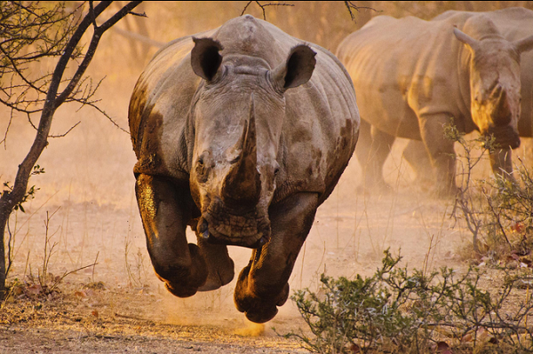 Mozambique: Two #rhino poachers sentenced to 19 & 17 years respectively. Rapid response, coordinated effort & evidence provided by national parks of Mozambique & South Africa led to the arrest & conviction bit.do/e8teV via @defenceWeb_Afr #SeriousAboutWildlifeCrime