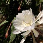 月下美人が美しい。おじいちゃがきっと花が咲くと言ってた!