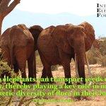 Image for the Tweet beginning: Happy #EleFunFactFriday! African elephants can transport