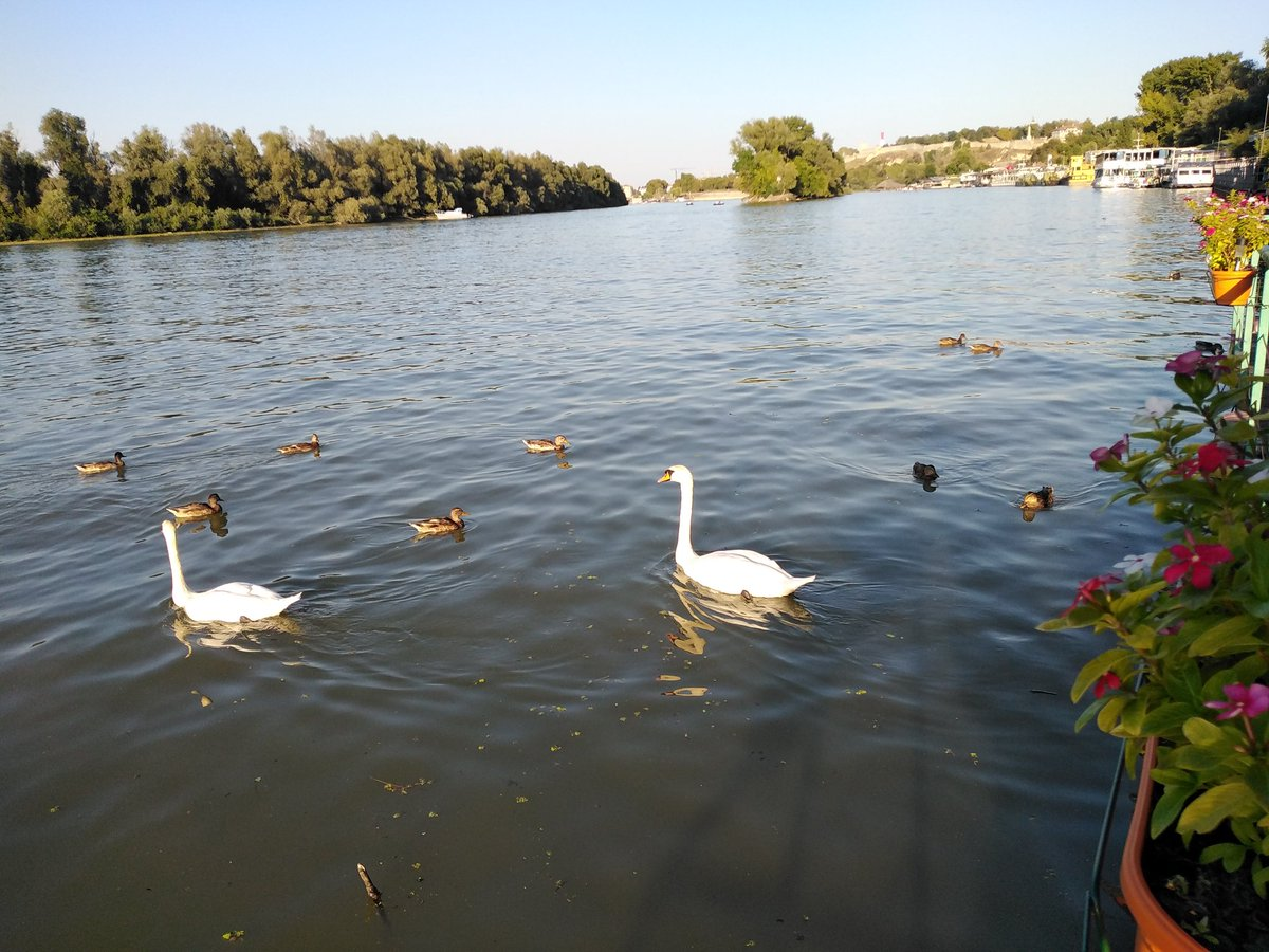 #TGIF : Friday afternoon drink at the #Danube with #swans also starting their weekend. #Belgarde #Serbia https://t.co/xxBdv96GRp