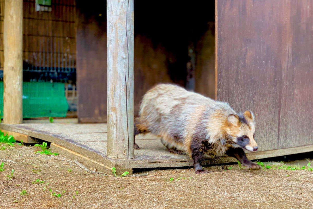名月には今日のたぬき を添えて詳細はこちら() #おびひろ動物園 #obihirozoo #エゾタヌキ #raccoondog #tanuki  #今日のたぬき #中秋の名月