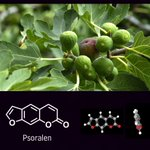 Psoralen - a naturally-occurring compound in fig leaves, celery, & parsley (among others) - is a flat molecule capable of squeezing into the DNA double helix and impeding DNA replication. It appears to be responsible for fig leaf photodermatitis. #PhytochemicalFriday (the 13th)!
