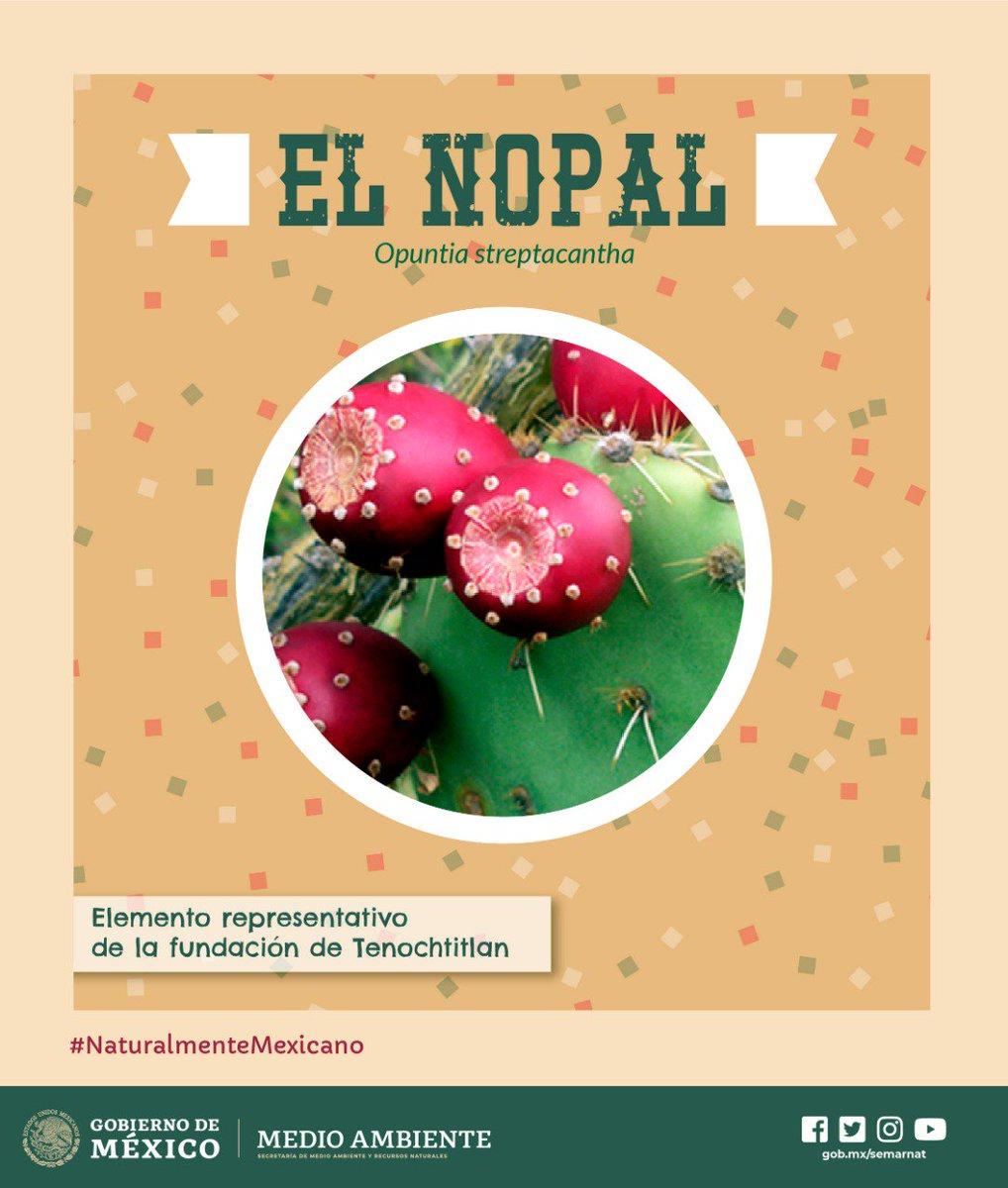 ✨#NaturalmenteMexicano🌵🇲🇽🍃| El #nopal es símbolo vivo de #México y Tenochtitlán, palabra del náhuatl tetl, piedra, nocht, fruto del nopal y tlān lugar.