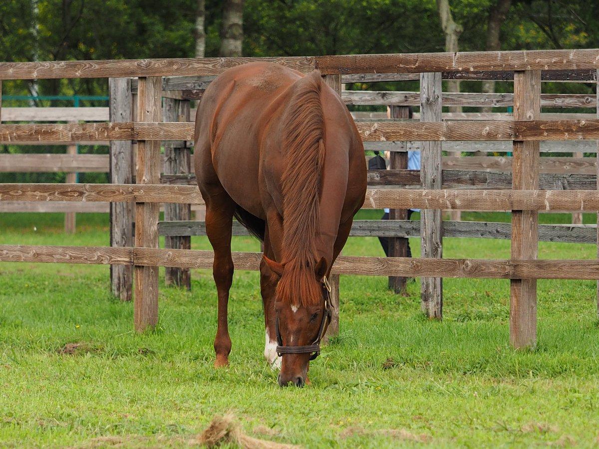 #ヤマカツエース お元気そうでした。エースも柵際の草を食べてました😊 8月31日 アロースタッド