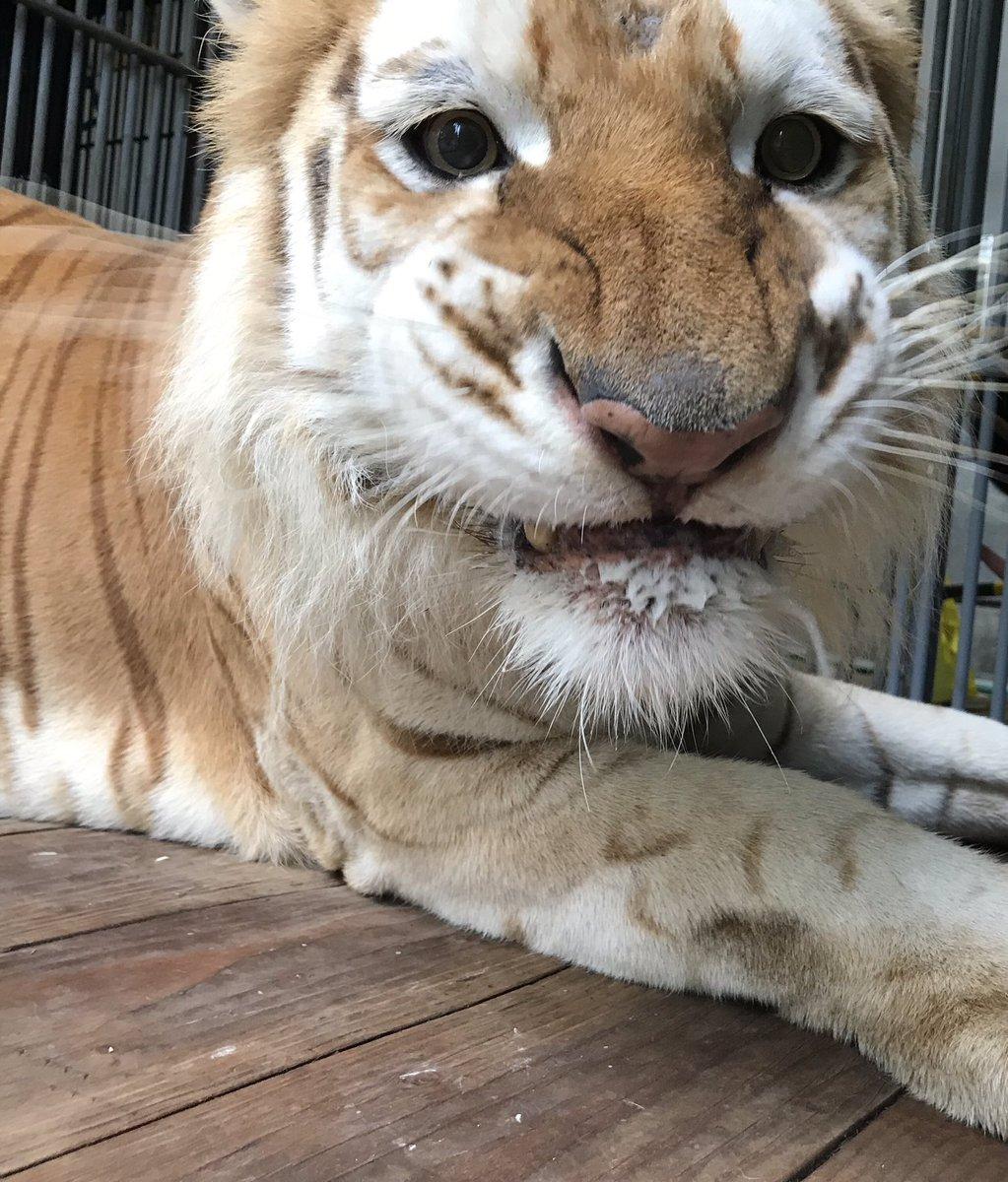 レアな表情のボルタが撮れました🙋♀️📸お食事中なだけで、怒ってるわけではありませんよ😳#結局 #どんな顔してもかわいい #表情豊か #ボルタのいる生活 #tiger #ベンガルトラ