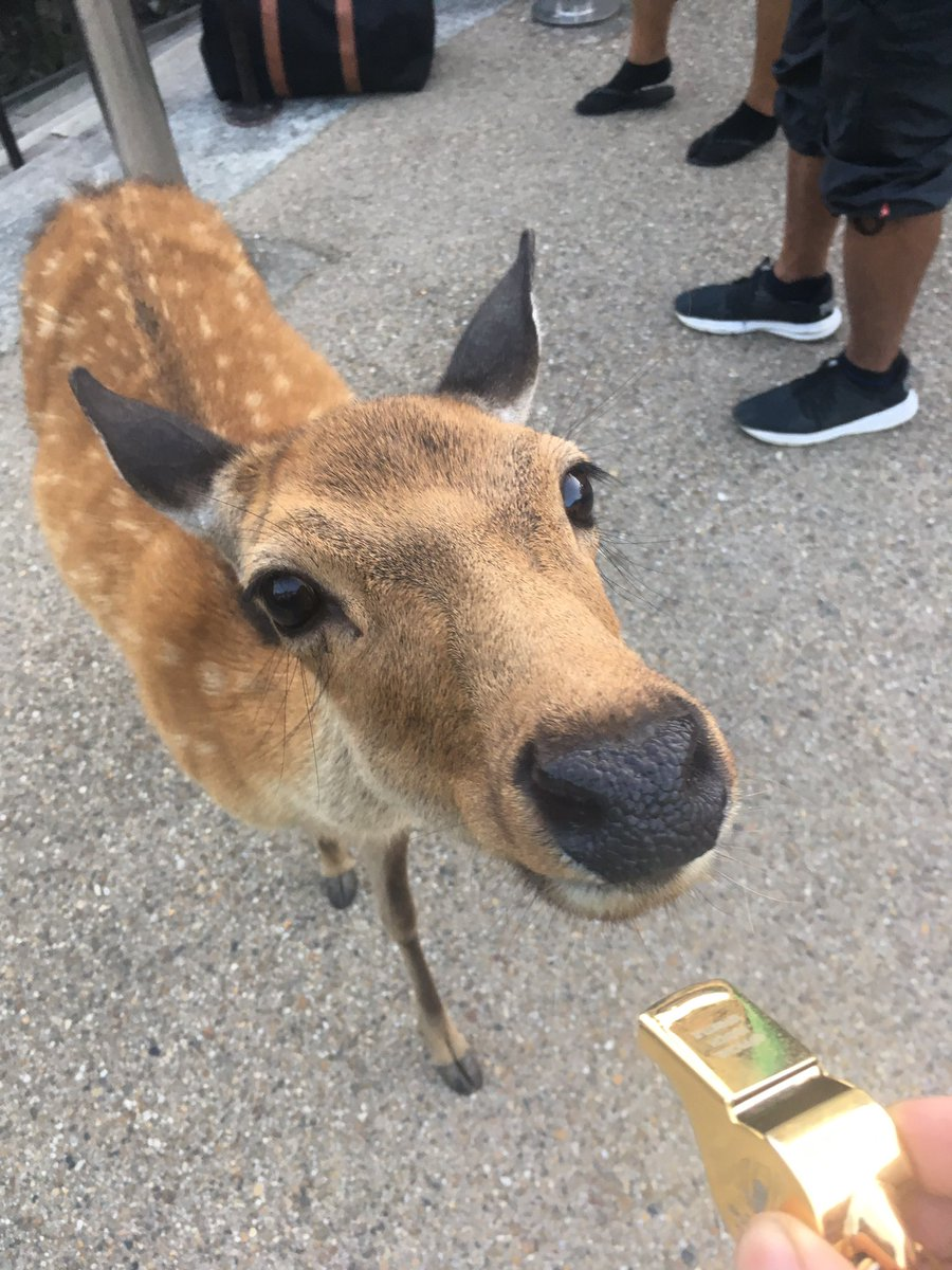 Meet Nigel from Nara Park. He's been handpicked by @shotaroonishi to take charge for the opening game of the @rugbyworldcup. @Nigelrefowens still has no i-deer so keep it on the down low @WorldRugby 🏉🦌