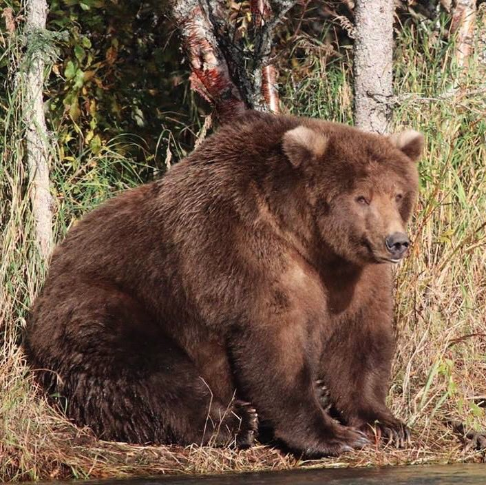 Brown bears @KatmaiNPS are eating as much as they can to prepare for winter & hibernation. A fat bear is a healthy bear! #Alaska #FindYourPark