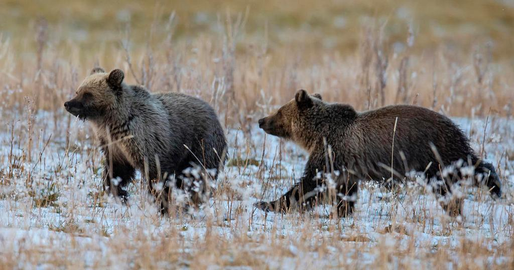 How an insect is key to grizzly bears survival cbsn.ws/2ZZnXzw