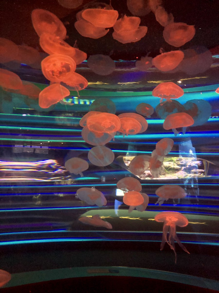 Glorious #jellyfish at the #Californiaacademyofsciences #aquarium and I got to pet a soft sweet lil #Starfish - they are SO SOFT!! pic.twitter.com/BQsJpsEPhu
