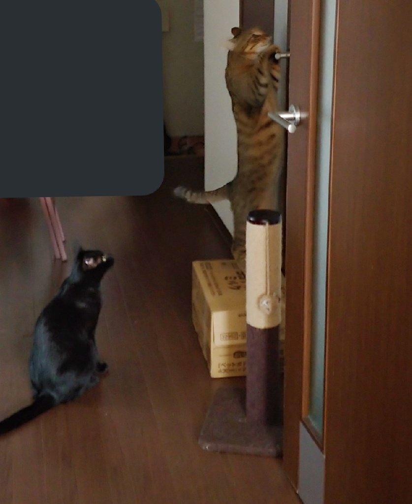 515日目。浴室にカビキラーを使うと、ニオイが好きなキジトラ、ぐいぐい入ろうとしてくる。正直入られると洒落にならんので、脱衣所の扉の前に重い物を置いて開かないよう封鎖。それを、人間の見てないところで一生懸命開けようとしていた。黒猫は興味無いけどキジトラについてきていた。子分か。