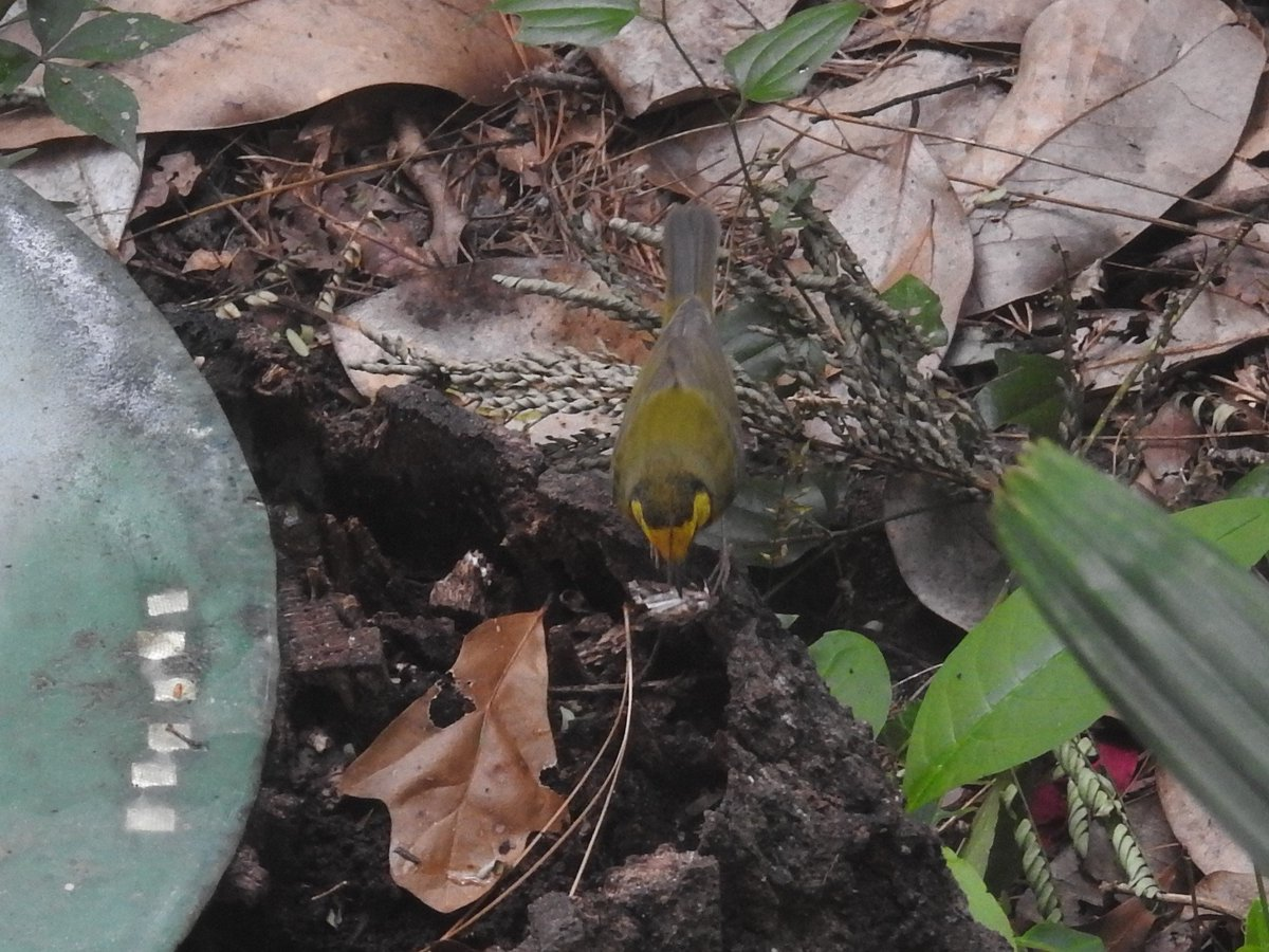 The hooded warbler found a cicada! Oh my god, he was so excited. He pounced on it, shook it, set it down, did a little dance around it. Contemplated the cicada, then set about trying to break it down into bits. Then merrily abandoned it for some other passing, smaller insects. <br>http://pic.twitter.com/eAEdsxgscc