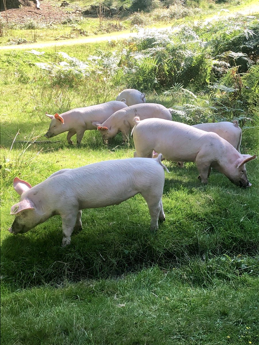Lovely seeing the pigs out eating the acorns in the #newforest today <br>http://pic.twitter.com/qQCmjJ7oIl
