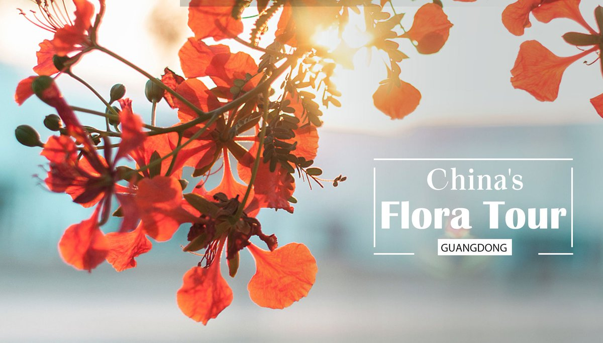 """China's Flora Tour: The summer flame that sets southern China """"ablaze"""" #FloraofChina #BeijingExpo #HorticulturalExpo https://bit.ly/2lQpHHY"""