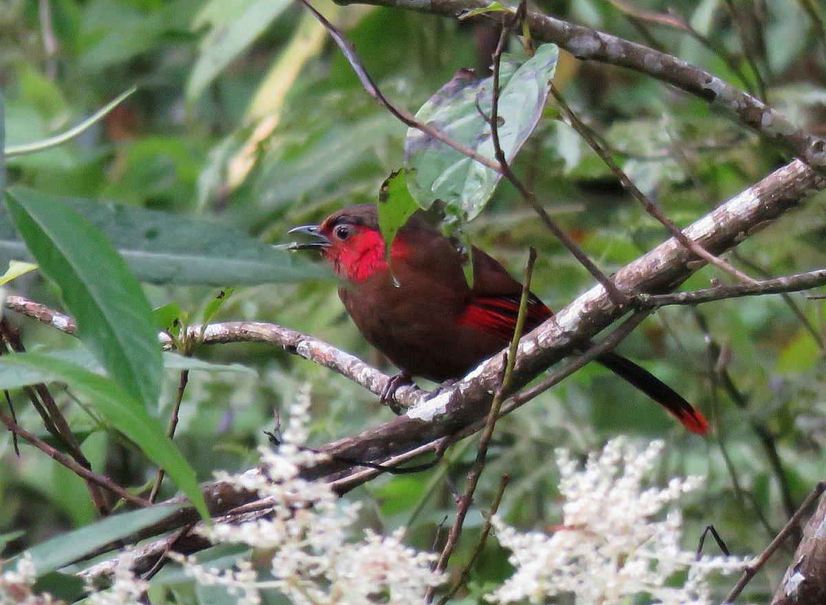 Pic of the day: Red-faced Liocichla at Eaglenast, Arunachal Pradesh. #Birdwatching #HolidayScout #ArunachalPradesh #northeastindia #birdlover #himalayas #incredibleindia #india #BirdPhotographyCommunity