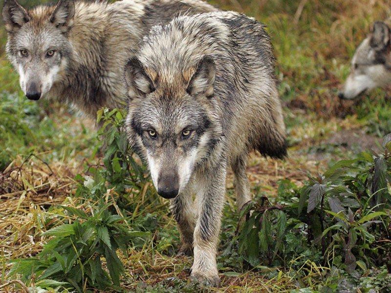кафтаны пришли фотографии степного волка анталья прекрасный вариант