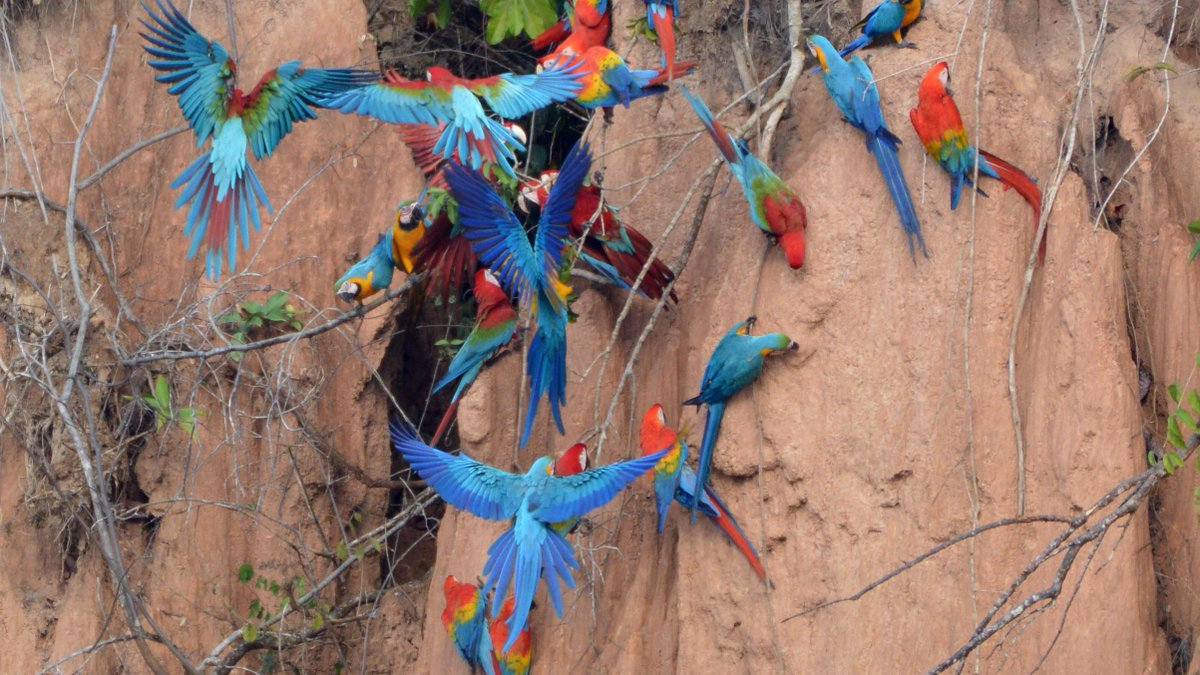 /u/tortugasgator: Tambopata Peru trip to macaw clay lick was phenomenal. Three species of macaws eat clay for sodium content. #travel #traveling #travelphotography #travelphoto #photo #exploring #ilovetravel #ilovetotravel #travelbucketlist #travelblog