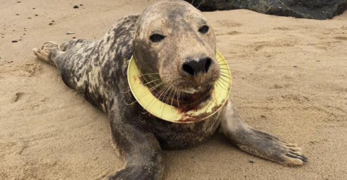 A community group has bought all the plastic ring toys in a seaside town in a bid to save seals from injury. 👉https://bbc.in/2kItRkX
