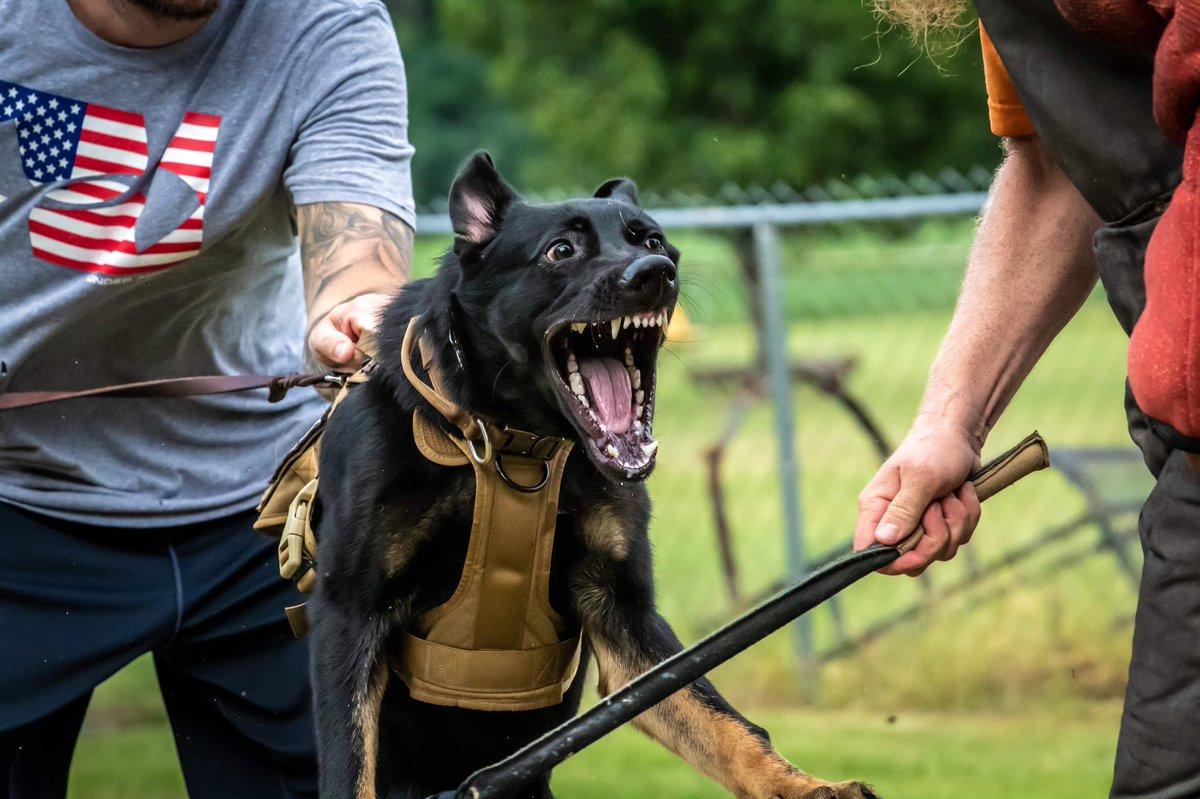 Mama's little #putthathandbackout #idareyou #justasportdog #mylittledevil #gsd #puppy #workingdog #arespuppy #littlebro<br>http://pic.twitter.com/CfR5dIGAvY