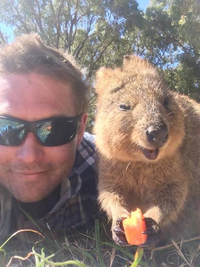 【自撮りの達人クアッカワラビー】『世界一幸せな動物』と呼ばれるクアッカワラビー。常に口角が上がっているこの生き物は好奇心旺盛で人間が写真を撮ろうとすると自らフレームに入ってくることも多いそうです。