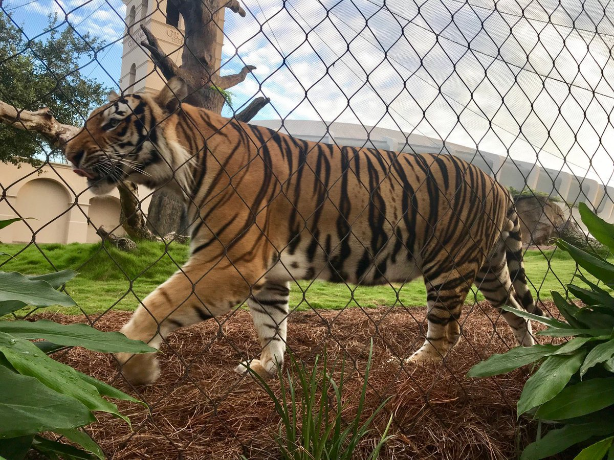 That @lsufootball game deserves a little strut. Geaux Tigers!