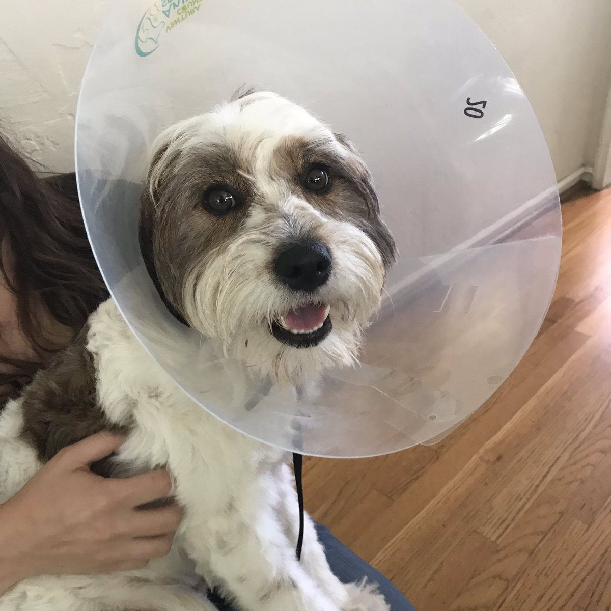 """Larry is a Poodle mix who just got adopted and fixed, thus, the cone of shame he's sporting. He needs to learn all the basics, so we played """"It's Your Choice"""" with him, a training game that shapes a """"Sit To Say Please"""" behavior: dogsavvylosangeles.com/game-based-dog…"""