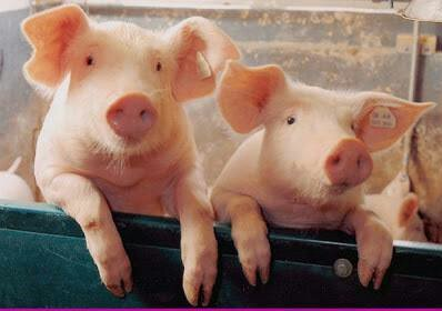 ⬆⬇If #AfricanSwineFever got in the U.S. it would severely depress the pig industry & create financial losses for farmers- BECAUSE the #FederalGovernment wld STOP all movement of pigs as well as pig exports U.S. exports appr 30% of its PIGS🐷💔 #Vegan bc #WhatTheUSDAWontTellYou
