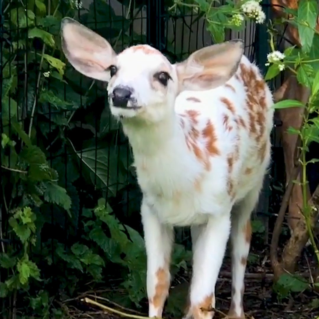 Watch this little white fawn blossom into the bravest deer!