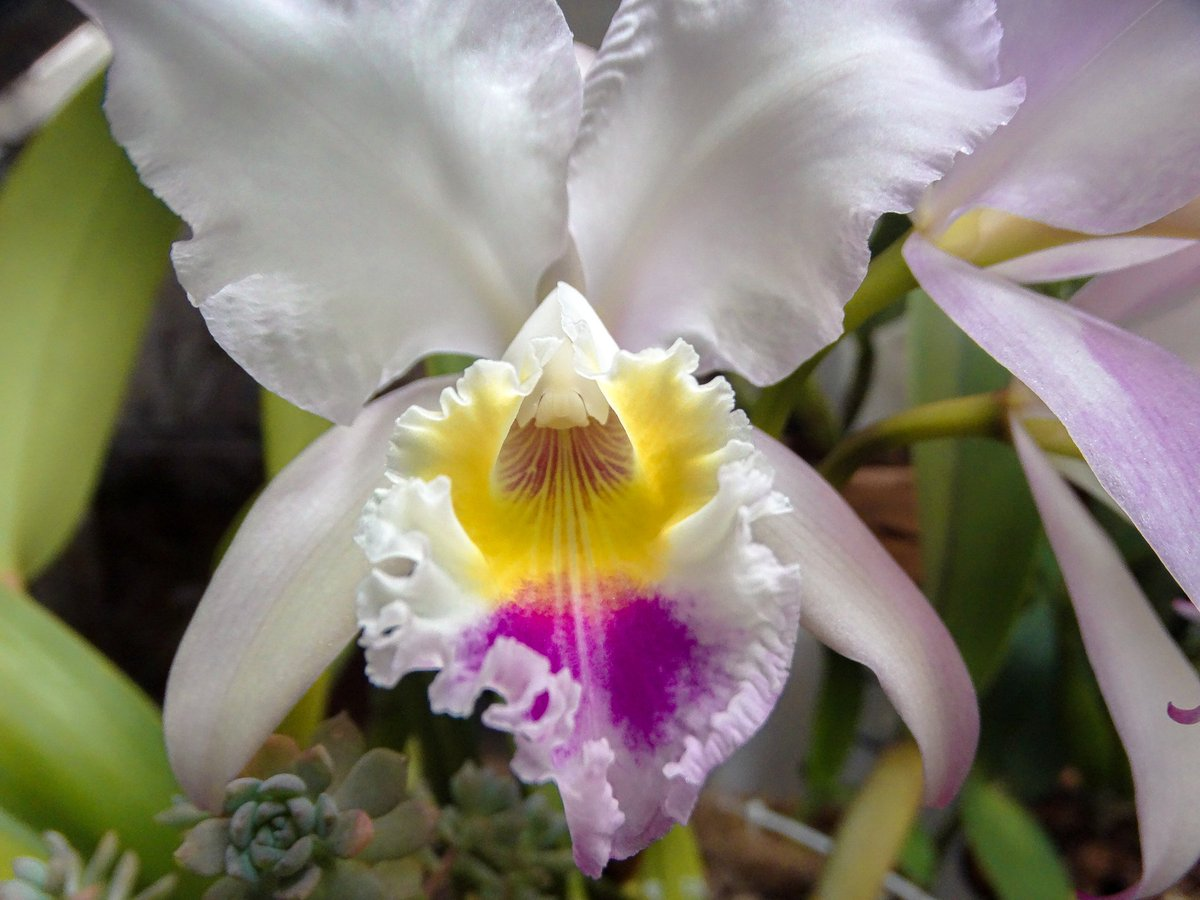 Sergio Parra On Twitter Cattleya Trianae Nature Colombia