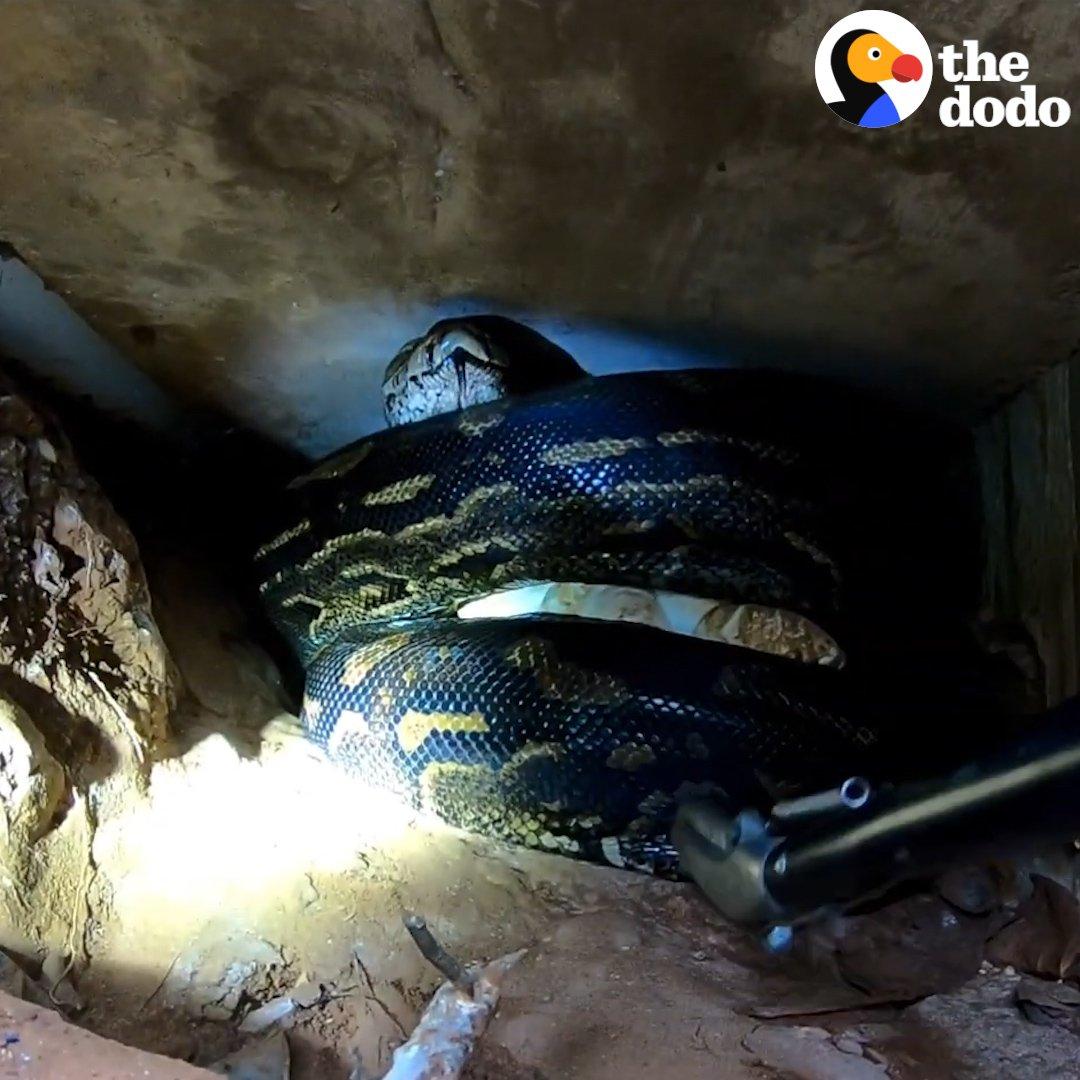 Crazy python rescue!