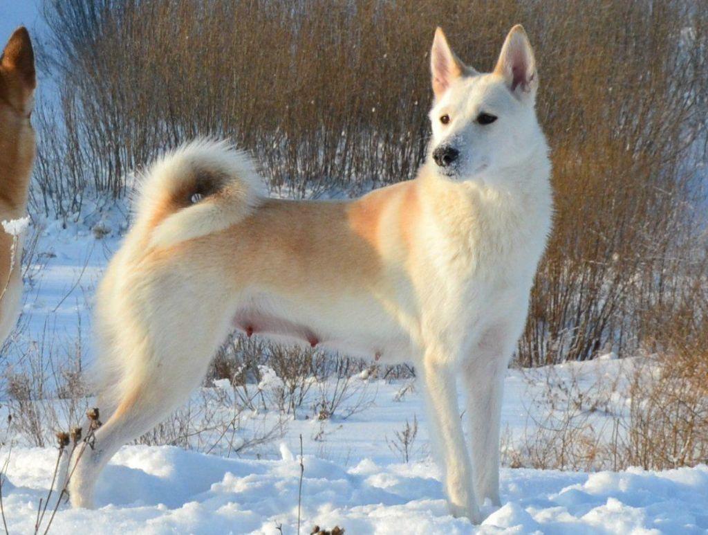 Собаки сибирские лайки картинки