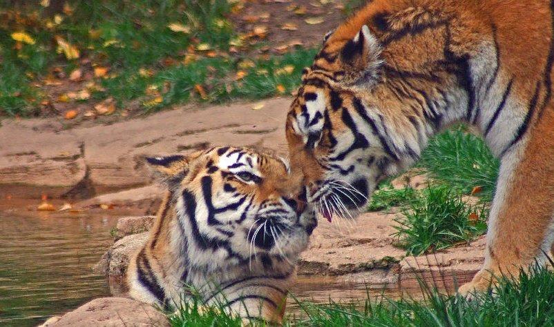 Студента картинка, картинки с тигром и надписями