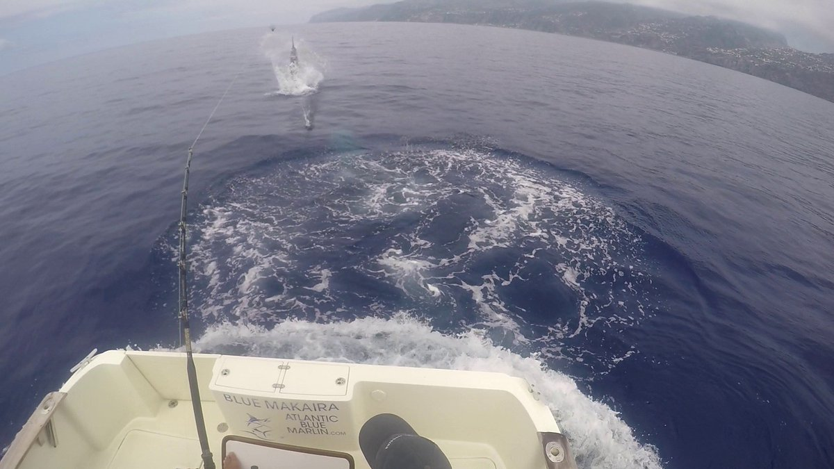 Madeira - Blue Makaira released a Blue Marlin (900).