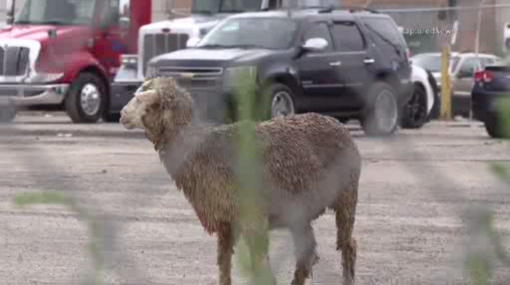 VIDEO: Ram On The Loose In McKinley Park chicago.cbslocal.com/2019/09/16/ram…