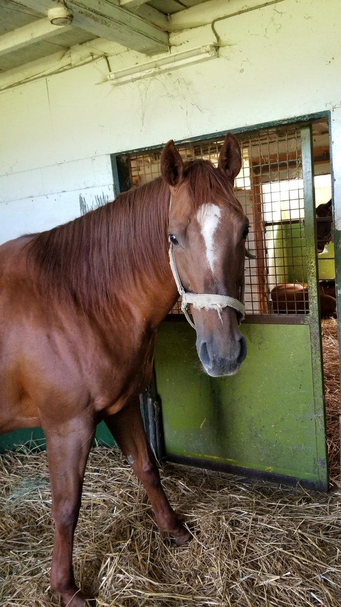 ナリタモードさん。ナリタセンチュリーの血を繋ぐ唯一の繁殖牝馬。今年はリオンディーズを受胎中。 #ナリタモード #ナリタセンチュリー