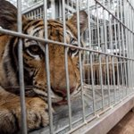 Image for the Tweet beginning: Almost 150 tigers were rescued