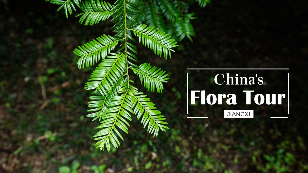 China's Flora Tour: This precious medicinal plant can also be toxic #FloraofChina #BeijingExpo #HorticulturalExpoMore: https://bit.ly/2koCwsL