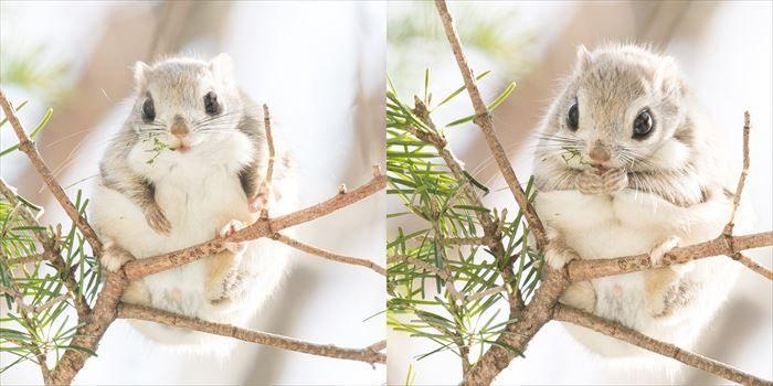 丸くてモフモフな森の天使写真集『世界一かわいいエゾモモンガ』10月10日発売  @itm_nlabzoo